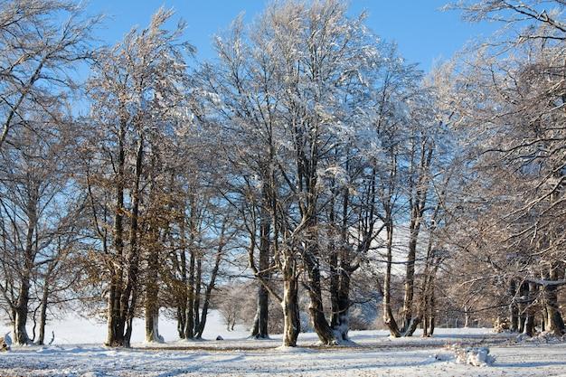 Floresta de faias da montanha de outubro com a primeira neve do inverno e as folhas do outono passado.
