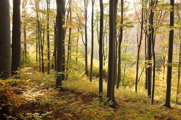 Floresta de faias de outono localizada na encosta da montanha iluminada pelo sol tardio