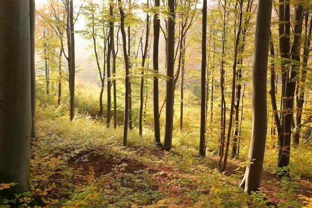 Floresta de faias de outono na encosta da montanha durante o pôr do sol