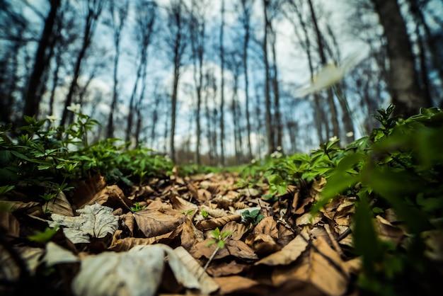 Floresta de faias de primavera