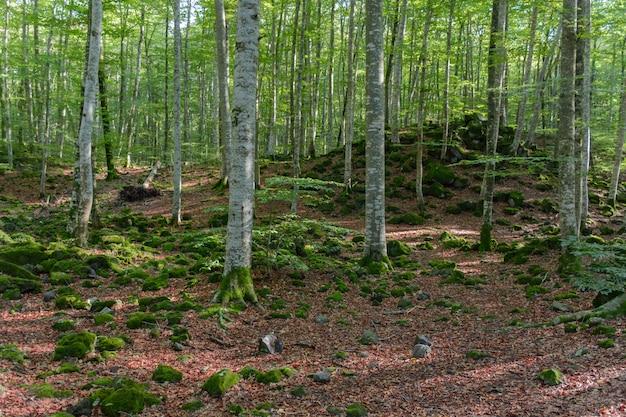 Floresta de faias e folhas caídas avermelhadas
