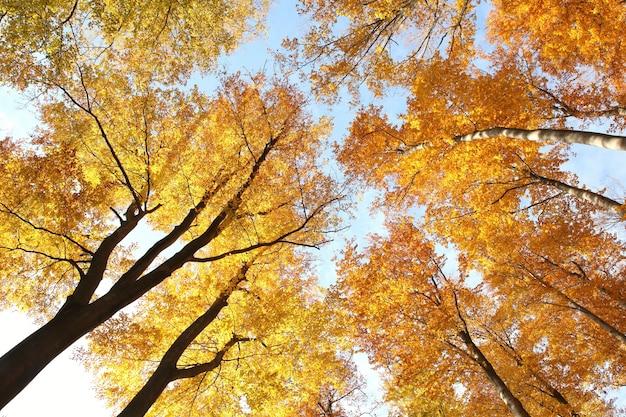 Floresta de faias no outono ao sol