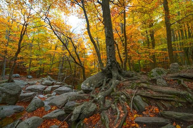 Floresta de faias no outono