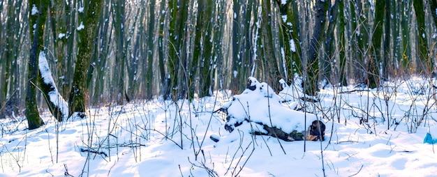 Floresta de inverno coberta de neve com árvores nuas em tempo ensolarado, panorama