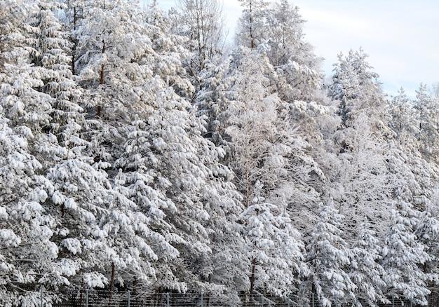 Floresta de inverno com árvores cobertas de neve