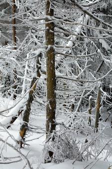 Floresta de inverno com pinheiros cobertos de neve e geada