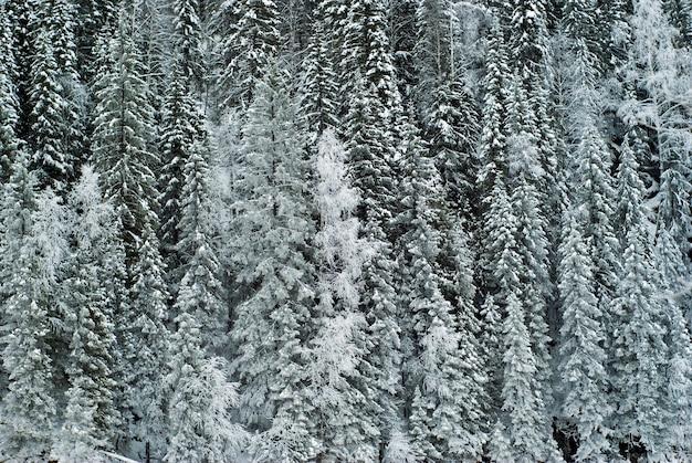 Floresta de inverno em uma montanha com galhos cobertos de neve
