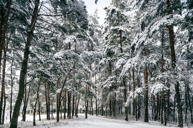 Floresta de inverno fabuloso fantasia. pinheiros na neve. magick belo parque.