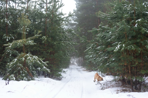 Floresta de inverno, pinho, andar com um cachorro