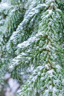 Floresta de inverno, ramos de abeto coberto de neve. as gotas congeladas de gelo em agulhas de abeto.