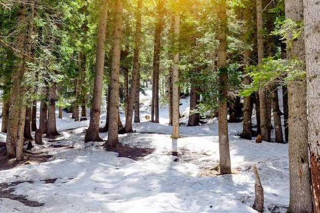 Floresta de larício de neve com luz solar e sombras pinheiros verde bonita