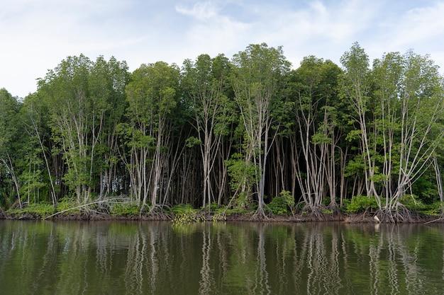 Floresta de mangue com água doce