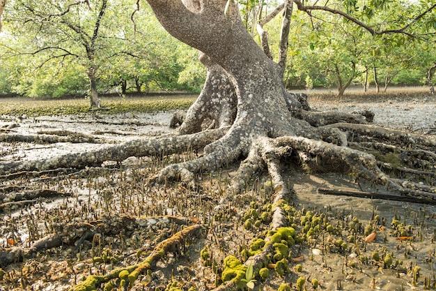 Floresta de mangues linda no litoral na maré baixa do mar de andaman