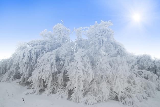 Floresta de neve no inverno e belas árvores brancas na neve