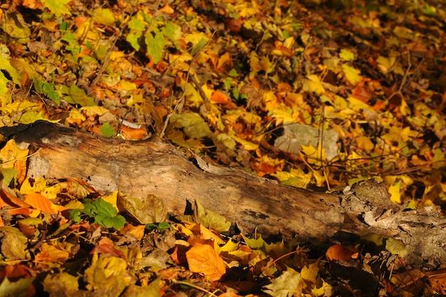 Floresta de outono amarela