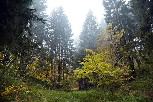 Floresta de outono, árvores coníferas e decíduas e arbustos, natureza na manhã nublada de outubro