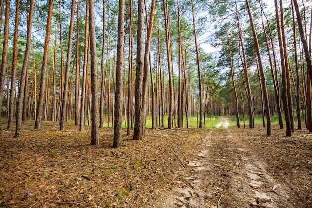Floresta de outono com árvores altas