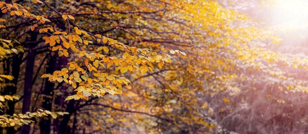 Floresta de outono com árvores amarelas em tempo ensolarado, fundo de outono