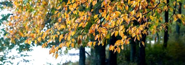 Floresta de outono com folhas amarelas nas árvores perto do rio, fundo de outono