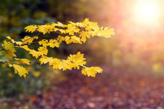 Floresta de outono com folhas de bordo amarelas em primeiro plano durante o pôr do sol
