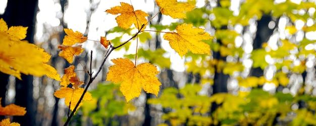 Floresta de outono com folhas de bordo amarelas em uma árvore, panorama