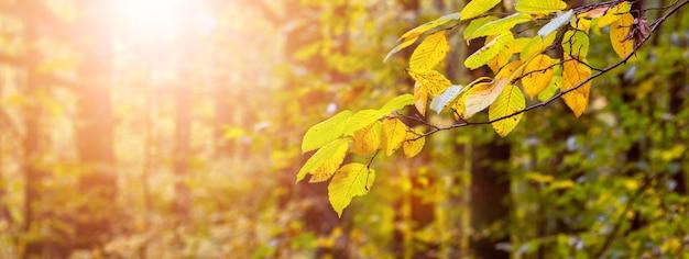 Floresta de outono com folhas douradas em árvores em tempo ensolarado durante o pôr do sol, fundo de outono, panorama