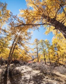 Floresta de pinheiros amarelos no outono