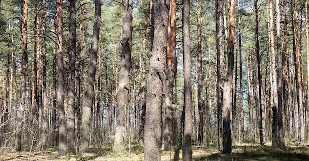 Floresta de pinheiros com luz solar