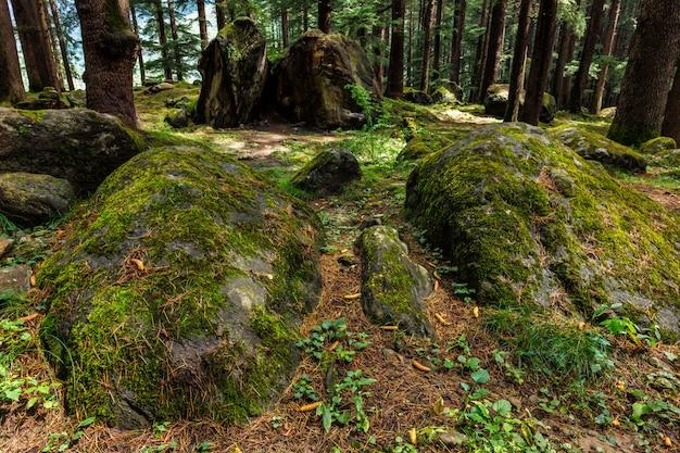 Floresta de pinheiros com pedras e musgo verde