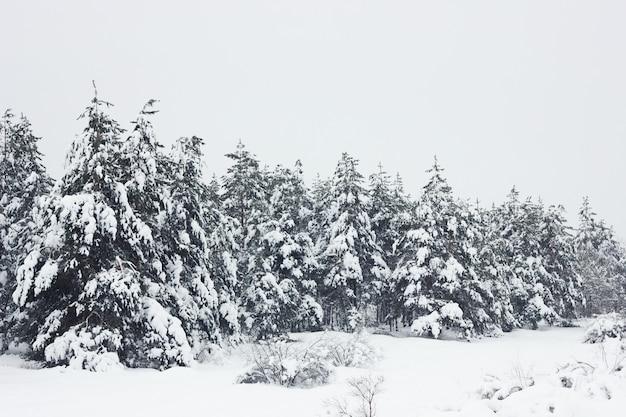 Floresta de pinheiros de inverno, fundo natural, paisagem de inverno, sensação de ar fresco