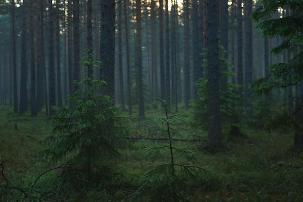 Floresta de pinheiros de manhã com nevoeiro ao entardecer.