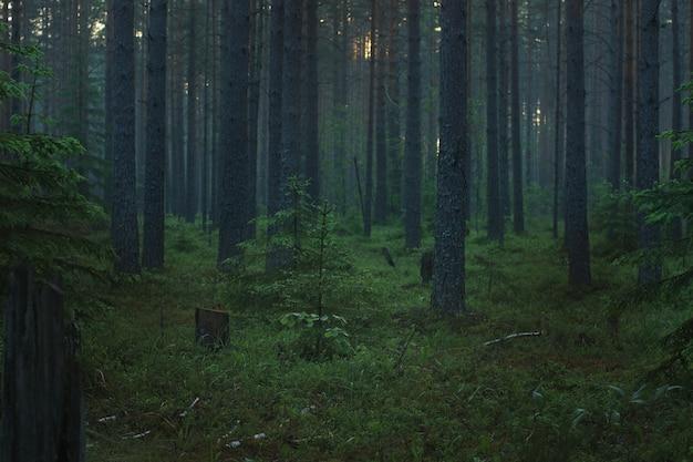 Floresta de pinheiros de manhã com nevoeiro pela manhã antes do amanhecer.