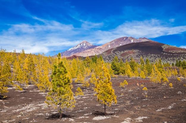 Floresta de pinheiros em rochas de lava no parque nacional de teide em tenerife, ilhas canárias, espanha