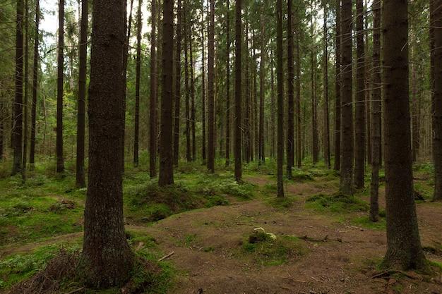 Floresta de pinheiros mágica no início do outono na rússia.