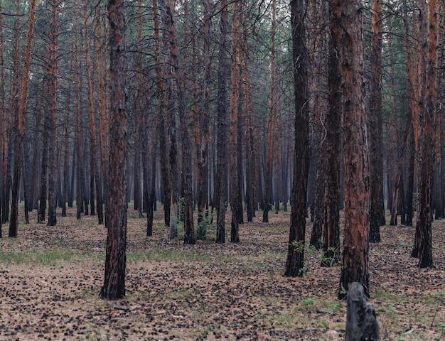 Floresta de pinheiros mística no nevoeiro