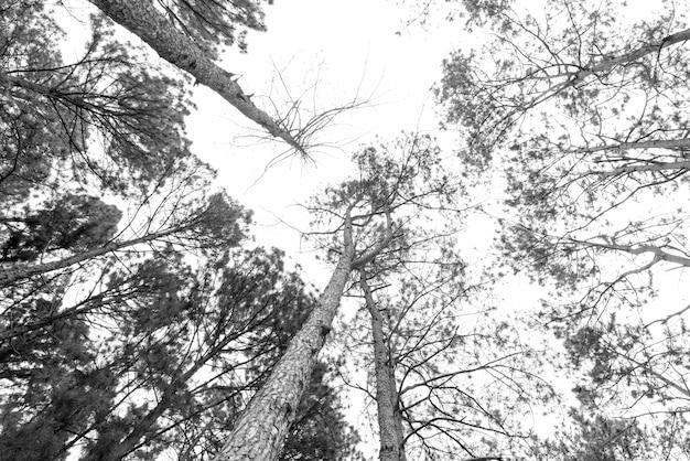 Floresta de pinheiros na tailândia no fundo da natureza.