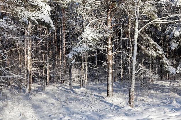 Floresta de pinheiros na temporada de inverno. a neve cai no chão e os troncos das árvores estão cobertos de neve