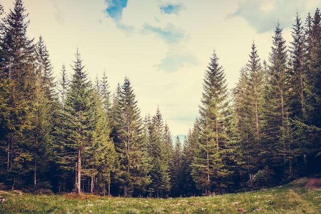 Floresta de pinheiros nas montanhas
