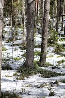 Floresta de pinheiros no início da primavera sob a neve. floresta sob a paisagem de inverno neve. o sol aquece o pinhal que despertou depois do inverno.