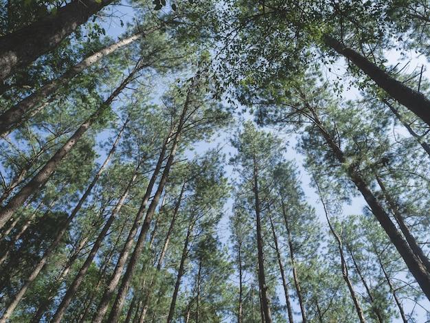 Floresta de pinheiros no parque nacional doi inthanon, tailândia