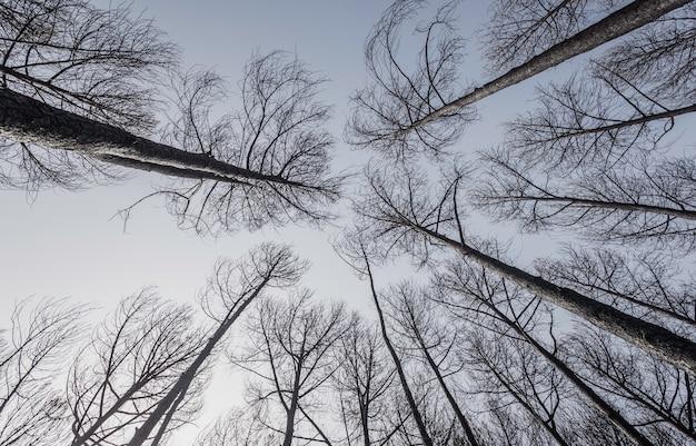 Floresta de pinheiros queimada