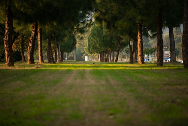 Floresta de pinheiros verdes na montanha.