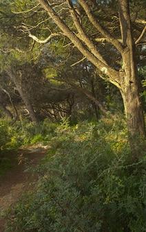 Floresta de pinus halepensis de pinheiro de aleppo