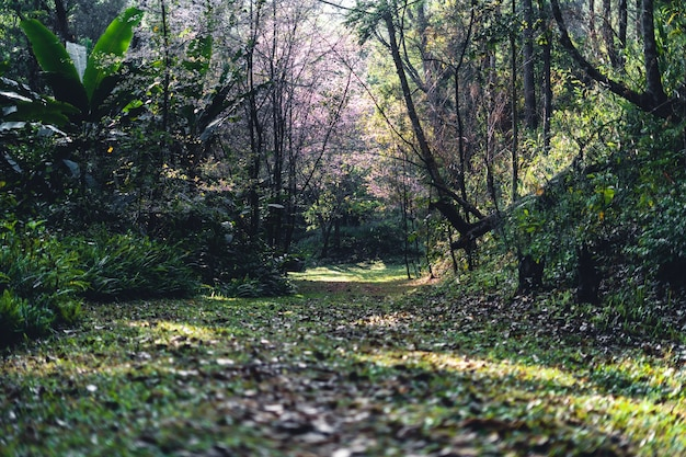 Floresta de primavera, árvores de flor rosa e floresta verde