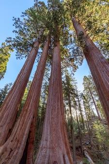 Floresta de sequóia gigante ao sol