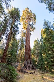 Floresta de sequóias gigantes. floresta nacional de sequoia na califórnia, montanhas de sierra nevada. eua