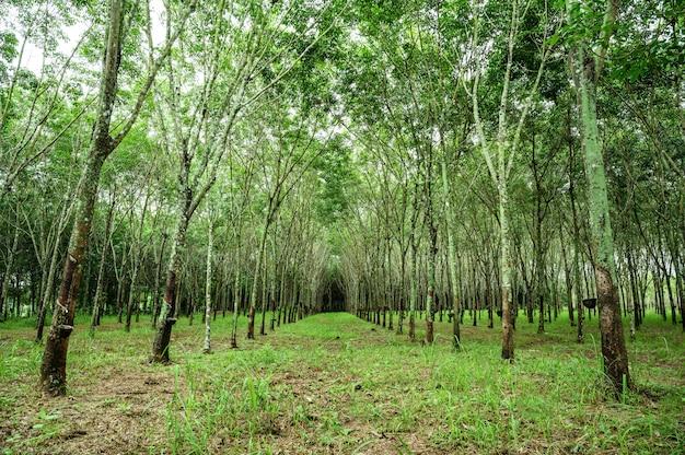 Floresta de seringueira, látex de borracha extraído da seringueira, colheita na tailândia.