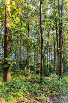 Floresta de teca com luz da manhã