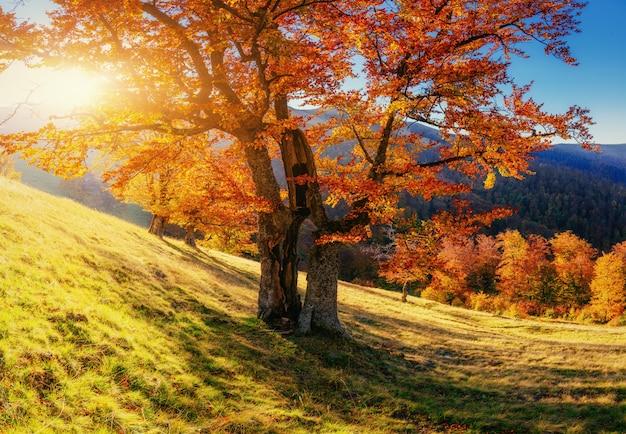 Floresta de vidoeiro na tarde ensolarada durante a temporada de outono