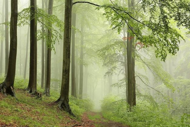 Floresta decídua de primavera com neblina ao longe